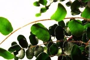 Kereklevelű sziklapáfrány (Pellaea rotundifolia)