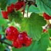 Bogyóstermésű gyümölcsös tervezése, gondozása