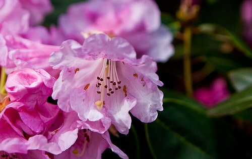 rhododendron-yakushimanum-fantastica