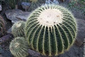 Óriási sünkaktusz (Echinocactus grusonii)