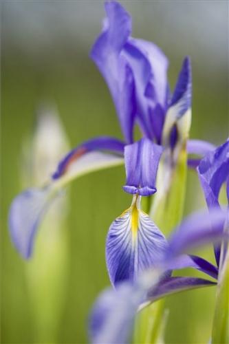 fagyolos-noszirom-iris-spuria