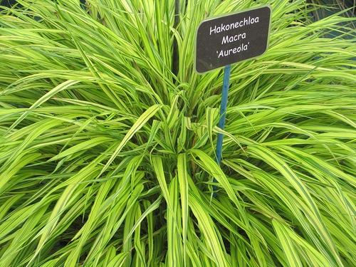 hakonechloa-macra-aureola