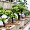 A bonsai leggyakoribb gombás betegségei