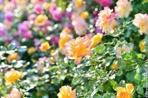 A legkedvesebb dísznövényünk a rózsa
