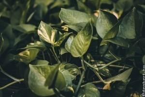 Hogyan gondozzuk a szobai futókát (Epipremnum aureum)?