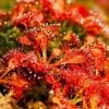 Lapátlevelű harmatfű (Drosera spatulata)