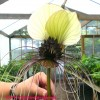 A fehér denevérvirág (Tacca integrifolia)