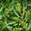 Babér (Laurus nobilis)