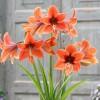 A hölgyliliom vagy amarillisz (Hippeastrum hortorum)