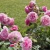 Eredetvédelmet kapott a szőregi rózsatő
