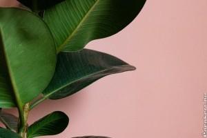 Így gyökereztessük és gondozzuk a szobafikuszt (Ficus elastica)!
