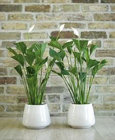 SPATIFILLUM (Spathiphyllum hibridek)