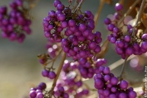 Őszi lila gyöngyök: kínai lilabogyó