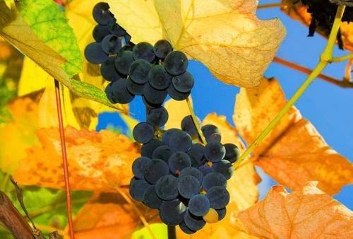 őssi szőlő