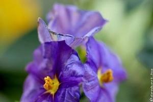Encián - Miért kék, ha lila?