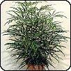 Tenyérarália (Dizygotheca elegantissima)