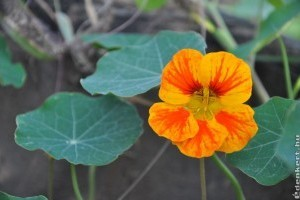 A kerti sarkantyúka az év gyógynövénye