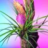 Szakállbromélia (Tillandsia cyanea)