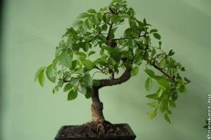 Zelkova bonsai metszése
