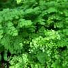 A kedves vénuszfodorka (Adiantum raddianum)