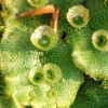 Májmoha (Marchantia polymorpha)