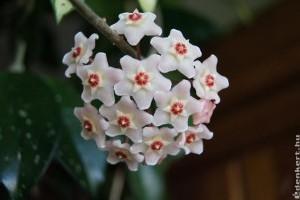 Sanyargatás után virágzik a viaszvirág