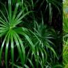 Vízipálma (Cyperus alternifolius)