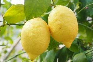 Beteg a citromom... Mit tegyek?