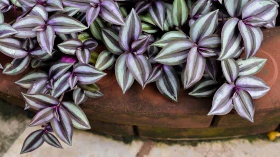 Igénytelen és látványos szobanövény: a zebrapletyka