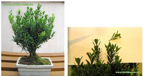 bonsai_metszes1