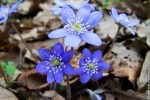 A tavasz hírnöke: a májvirág