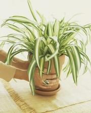 Zöldike, a legjobb légtisztító szobanövény