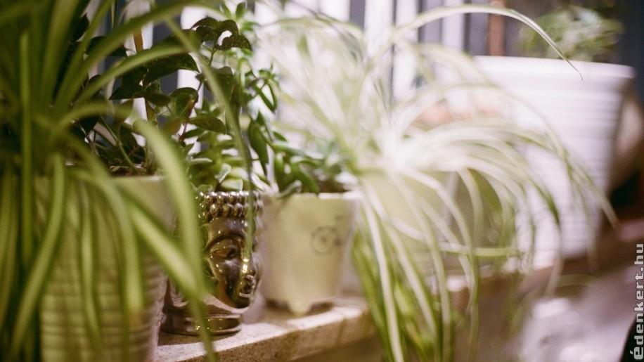 Zöldike: az egyik legjobb légtisztító szobanövény