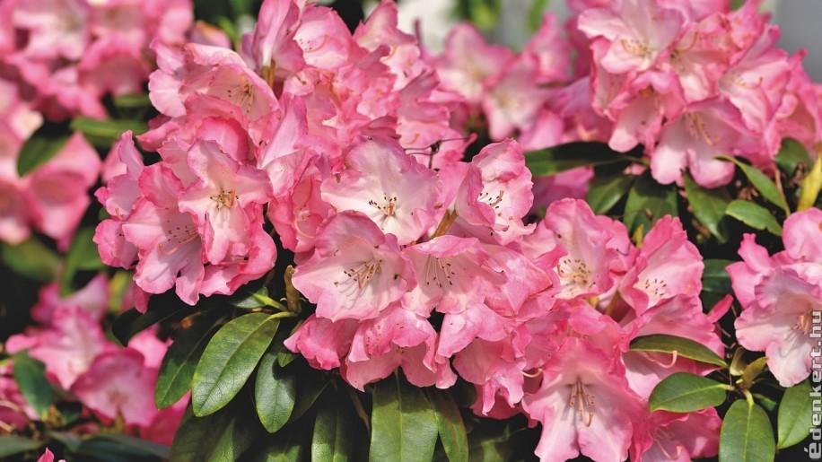 Mesés szépség: rododendron a kertben