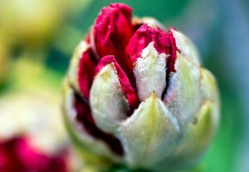 rododendron_bimbo