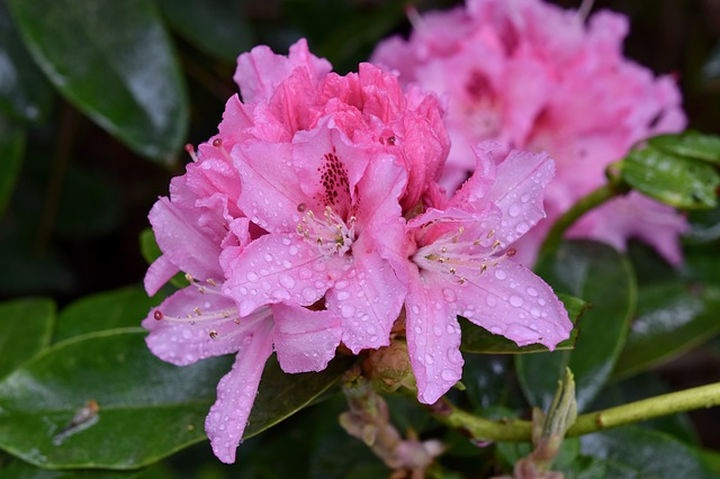 rododendron_kertben
