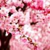Virágba borultak a mandula- és kajszibarackfák, kiváló év várható!