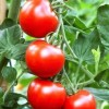 Az időjárás és az import is sújtja a hazai paprika és paradicsom termelőket