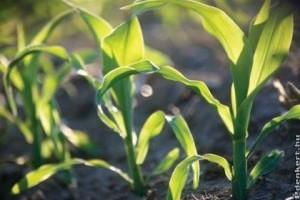 Növényvédő szerek kiskultúrás engedélyezését kezdte meg a Nébih