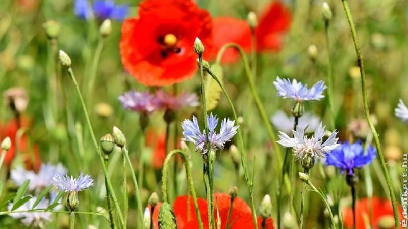 Tervezzünk romantikus vadvirágos kertet!