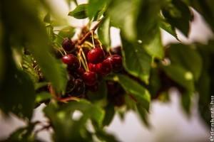 Kiváló meggy- és cseresznyetermés ígérkezik Elvira majorban