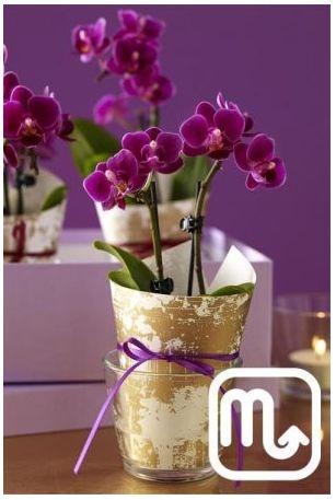 skorpio_orchidea