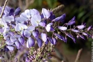 Wisteria - Kényes virágzsákok