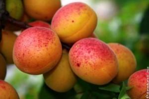 Őszibarack és kajszi, imádni való gyümölcsök!