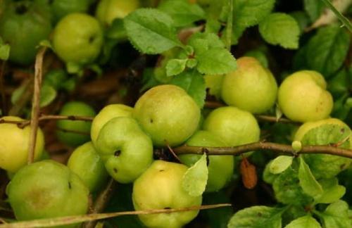 Japánbirs gyümölcse