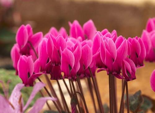 A ciklámen virága és szára enyhén mérgező