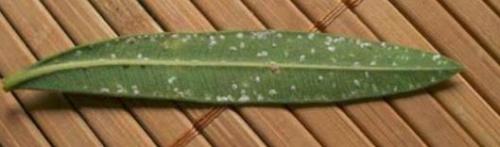 oleander pajzstetű