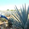 Tequila: az aztékok tudták mivel kell fogyni!