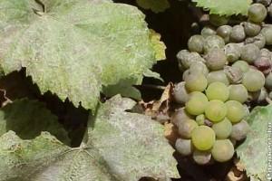 CÉGÉR az egészséges szőlőért a jó minőségű borért!