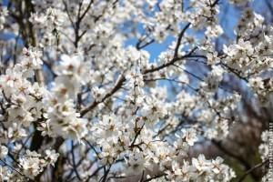 Rekordkorán szüretelhetünk meggyet és cseresznyét idén!
